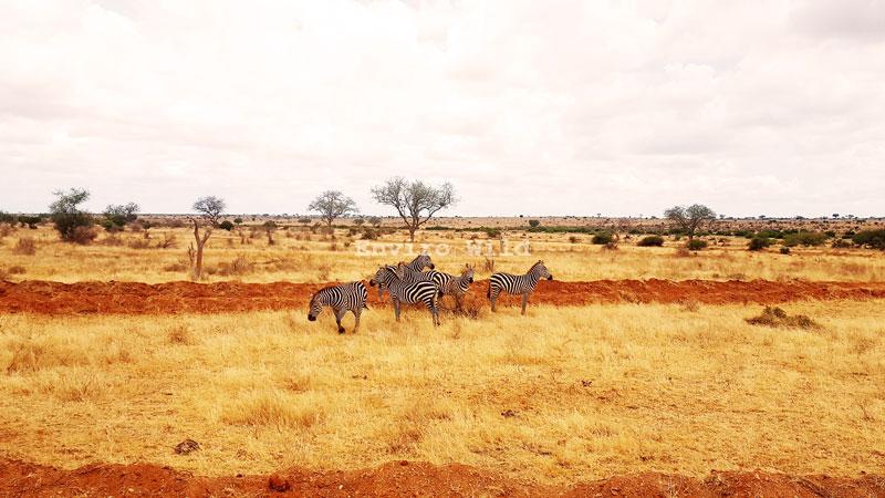 Zebras at the Tsavo National Park- Enviro Wild