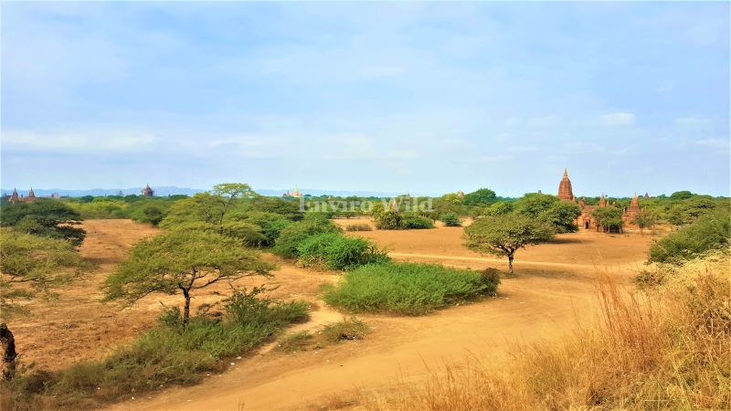 Old Bagan- no tree is being cut- Preserved for environmental and religious benefit