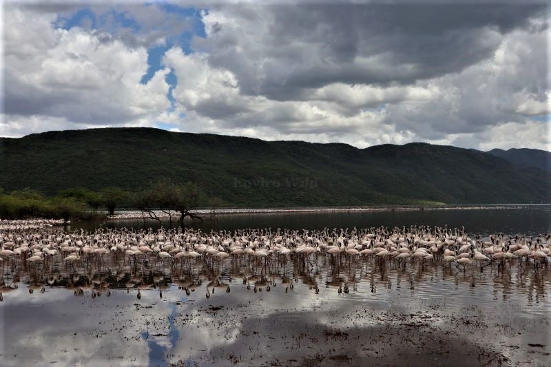 Flamingos at Lake Bogoria/Envirowild