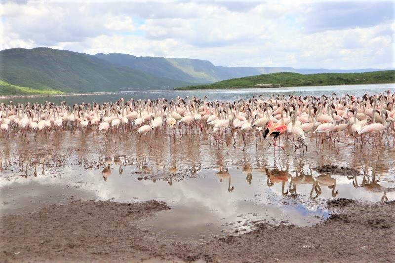 Flamingos in Lake Bogoria- Beautiful scenery- Enviro Wild