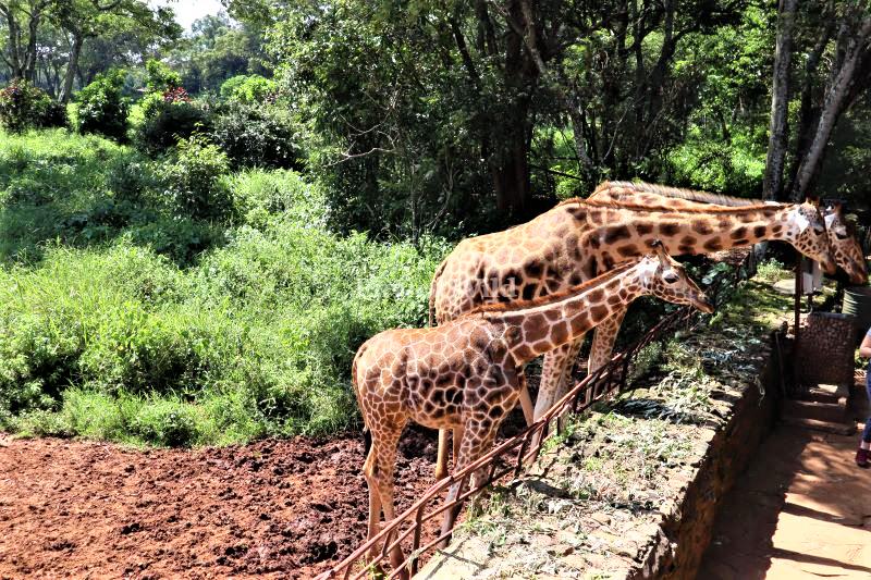 Rothschild's giraffe at the Giraffe Center Nairobi- Enviro WIld