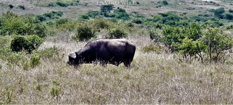 Buffalo at NNP Enviro Wild