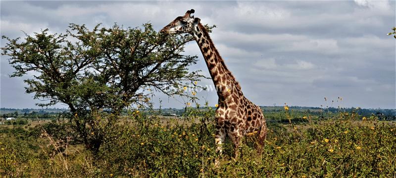 Giraffe at the Nairobi National park- Enviro Wild
