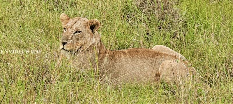 Female Lion at the Nairobi National Park- Enviro Wild