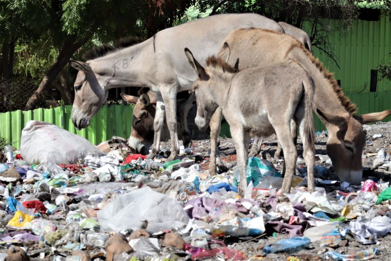 Donkeys feeding on Plastics- Lamu Island by Caroline Kibii