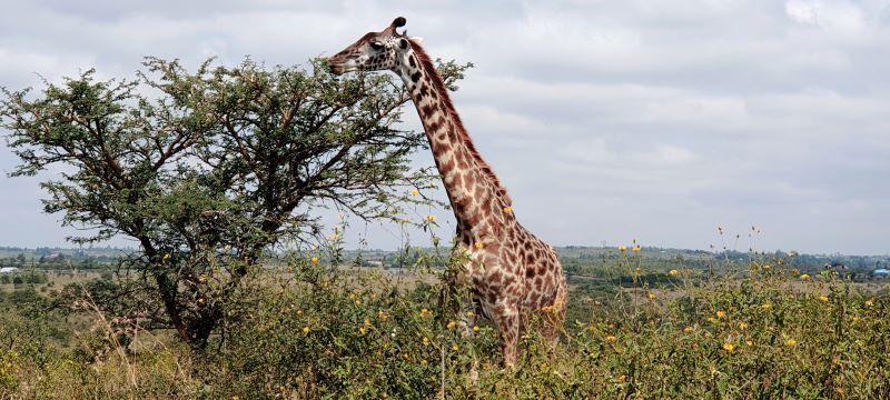 Giraffe at Nairobi National Park by Caroline Kibii